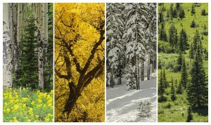 Trees in the four seasons in the Colorado Rocky Mountains